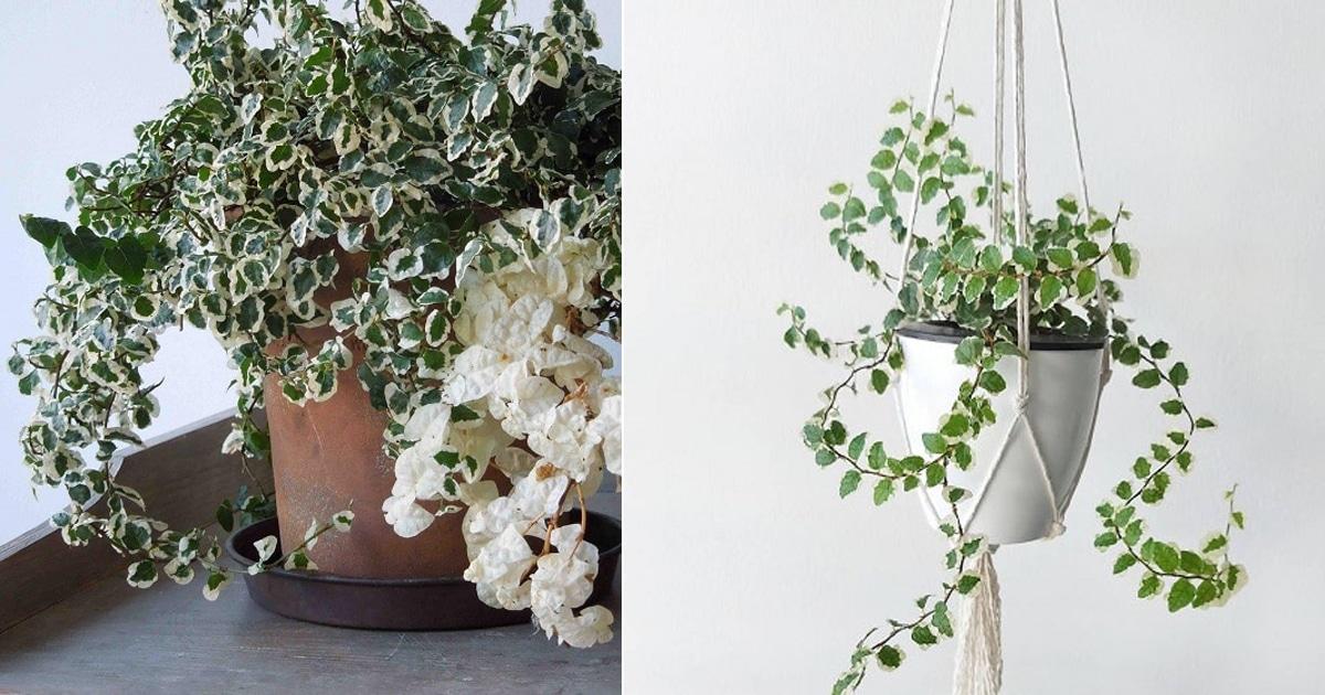 Grow Creeping Fig Indoors