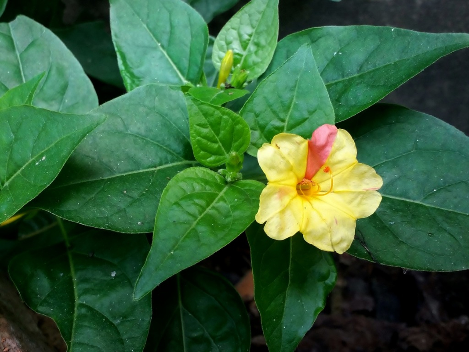 How to Grow Four Oclocks Mirabilis Jalapa