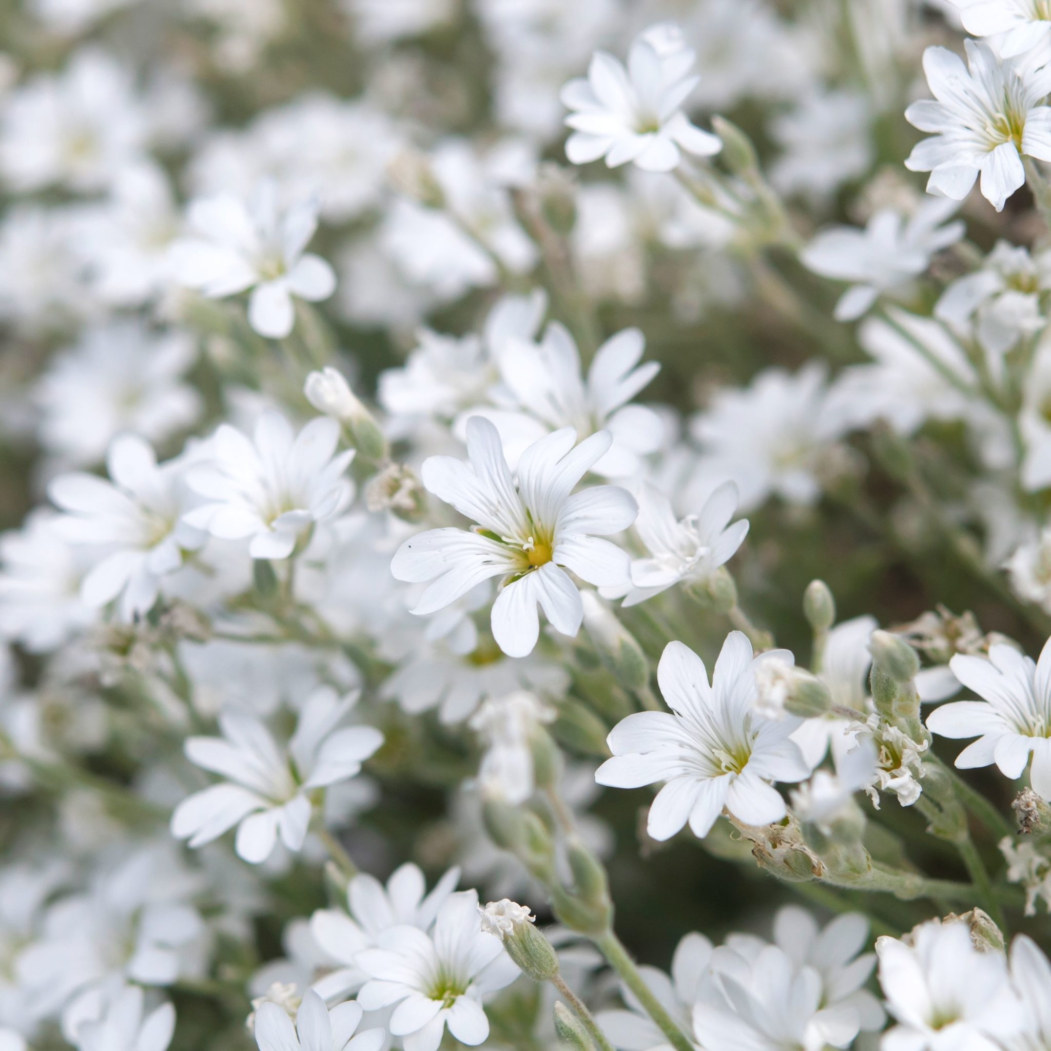 How to Grow Snow in Summer Plants