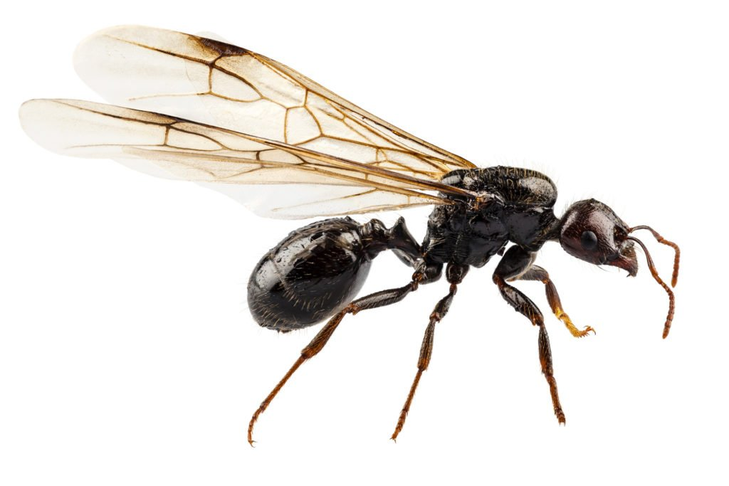 Why Do Ants Have Wings?