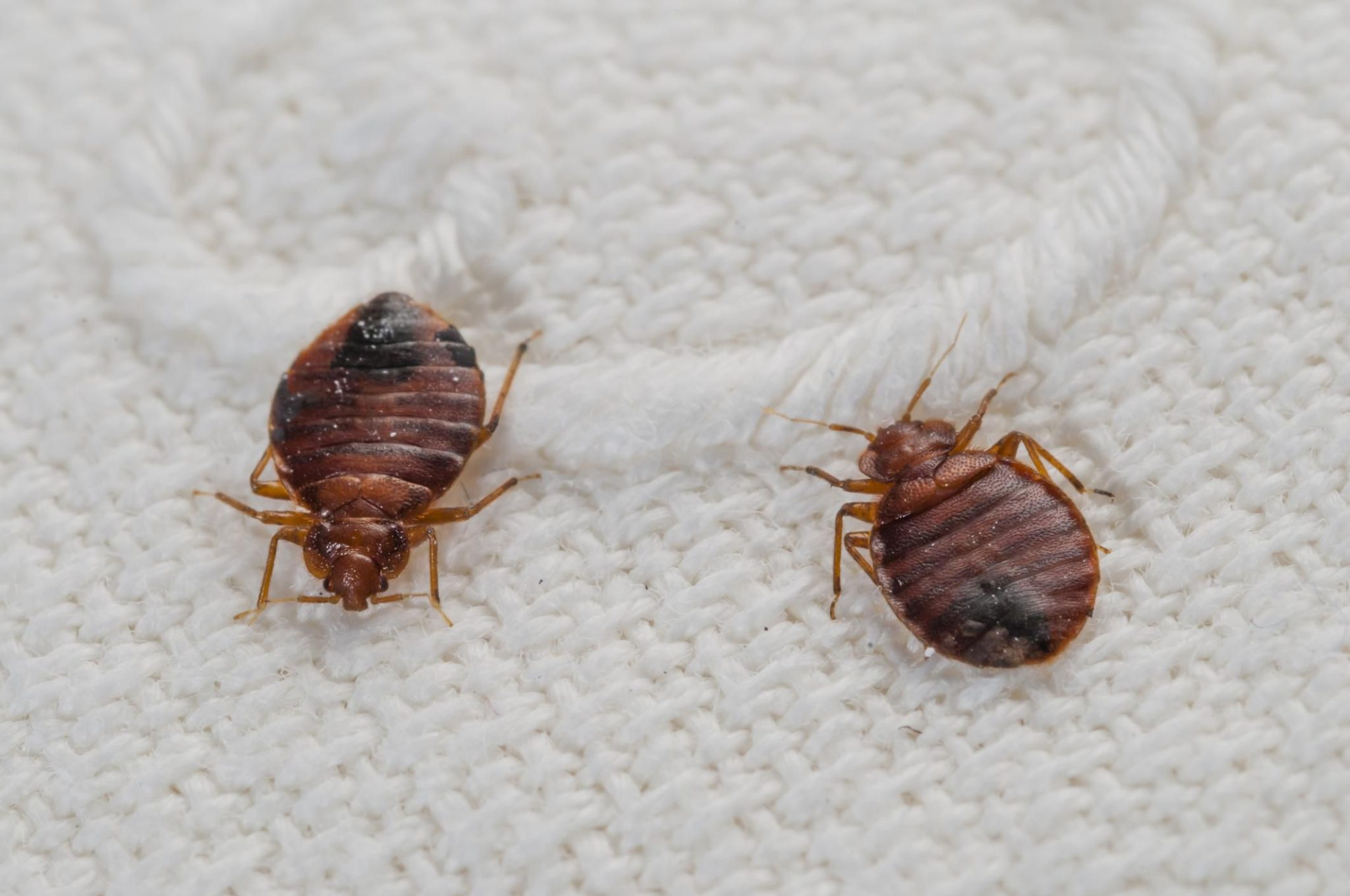 How to Treat Bedbugs in Furniture