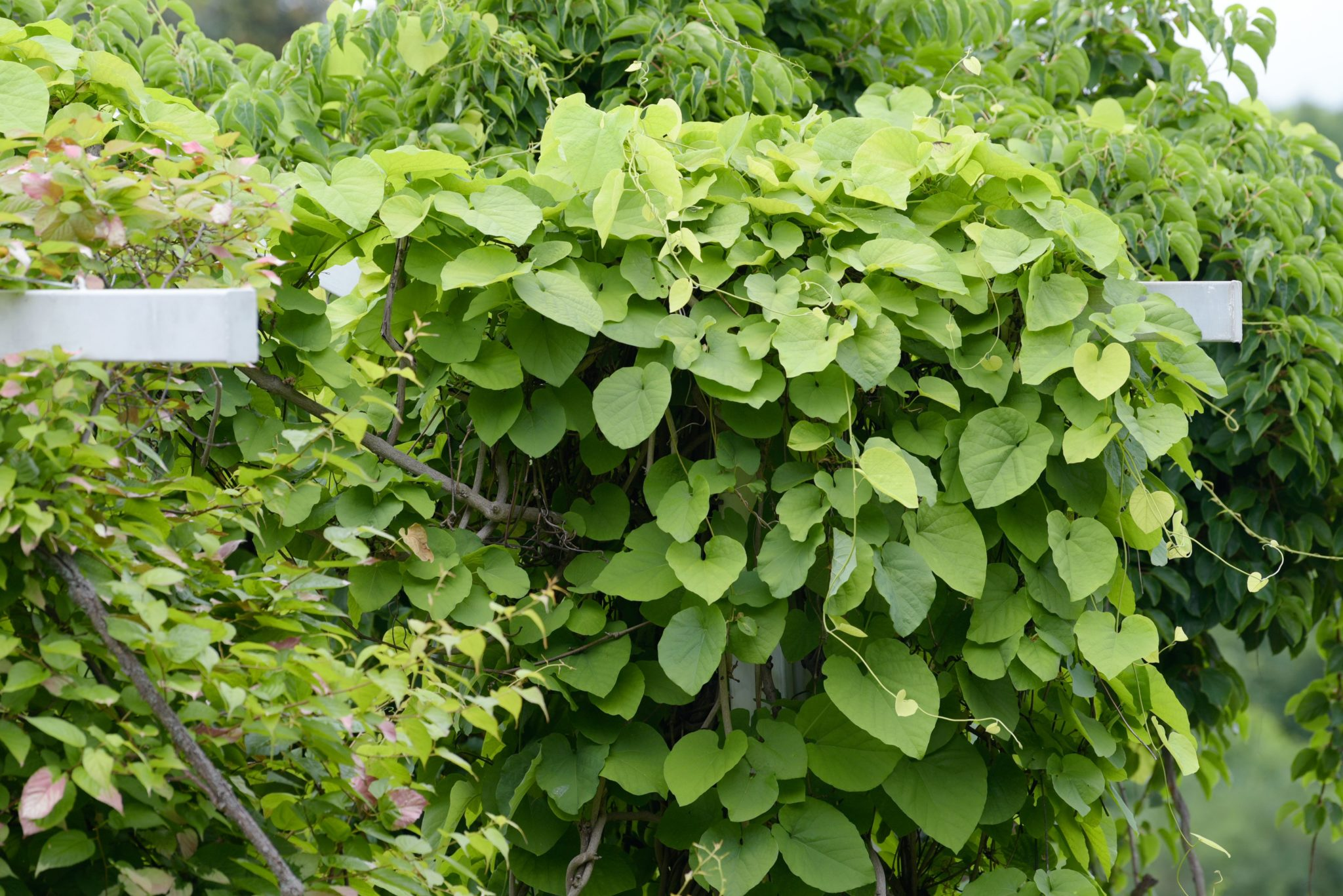 How to Grow Pipe Vines